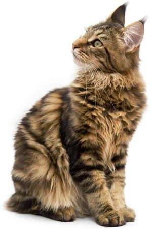 maine_coon_looking_left